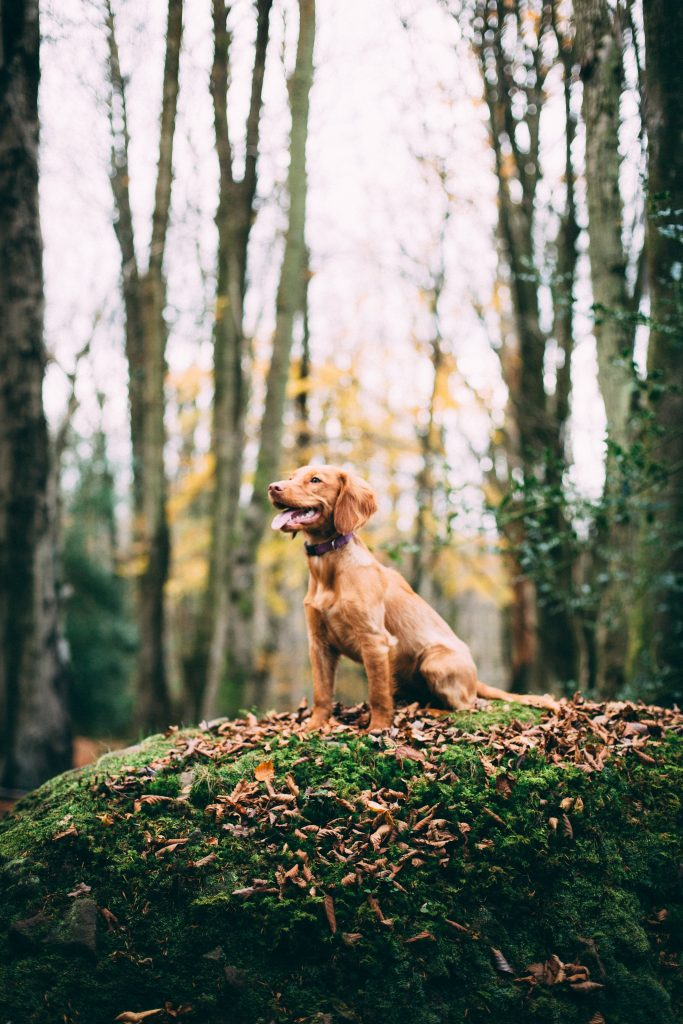 Chien-Majestueux-foret
