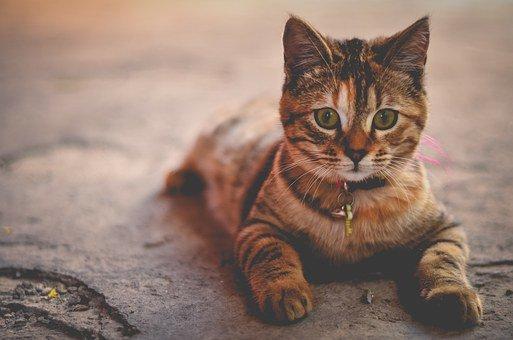 Comment débarrasser votre chat des puces?