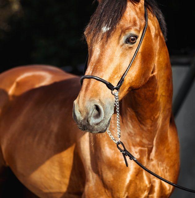 Entretien du cheval, pieds et sabots : comment les soulever ?
